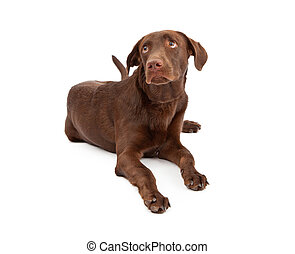 Labrador Retriever Puppy With Guilty Look - A young...
