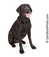 Black Labrador Retriever Dog - A one year old female black...