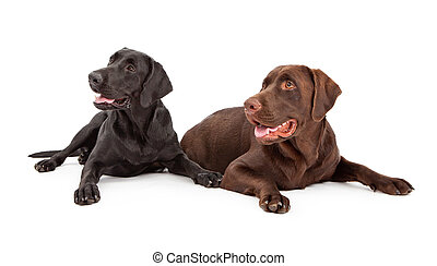 Labrador Retriever Dogs Looking to Side