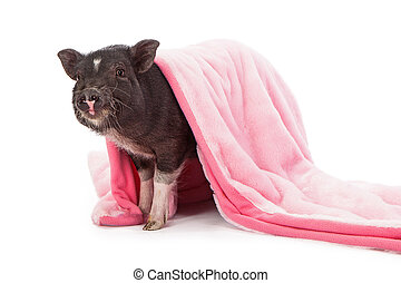 Pig in a Blanket - Baby black pig wrapped in a pink plush...