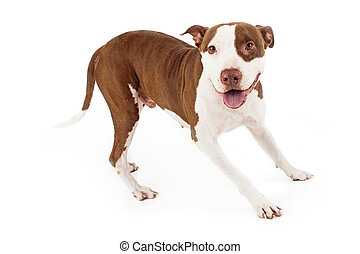 Friendly Pit Bull Dog Playing - A happy and playful Pit Bull...
