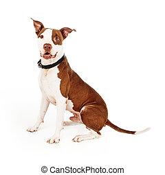 Pit Bull Mixed Breed Dog Happy