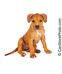 Pit Bull Puppy Fawn Color - A cute ten week old Pit Bull...