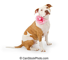 Pretty Pit Bull Terrier Dog - A beautiful American...