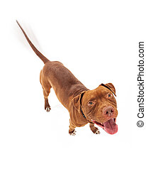 Happy Pit Bull Dog Wagging Tail - A happy red Pit Bull dog...