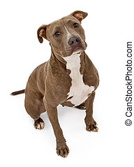 Pit Bull Dog With Innocent Look - A friendly looking Pit...