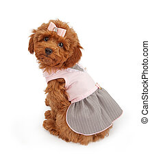Poodle Puppy in Pink Dress - An adorable Poodle puppy...