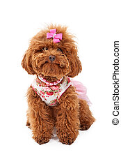 Miniature Poodle in Pink Outfit - A small red poodle dog...