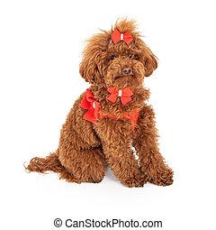 Poodle dog Wearing Fancy Harness