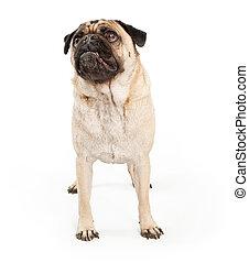 Pug Dog Looking Up