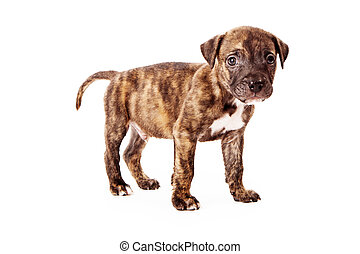 Brindle Colored Puppy - A cute eight week old puppy with...