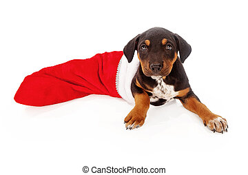 Mixed Breed Puppy in Stocking - A mixed breed Rottweiler...