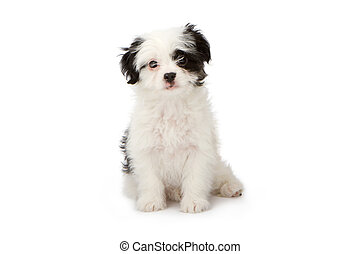 Puppy White with Black Markings - A cute white and black...