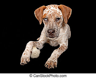 Queensland Heeler Mixed Breed Puppy With Ball