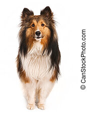 Shetland Sheepdog Looking at Camera - A beautiful Shetland...