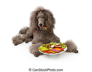 Grey Standard Poodle dog with Cookies