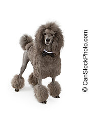 Standard Poodle Dog With Bow Tie