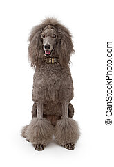 A large gray standard Poodle dog on white