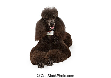 Black Standard Poodle dog laying down