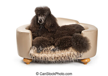 Black Standard Poodle dog on Luxury Bed