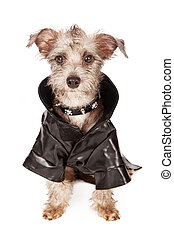 Terrier Dog With Spiked Collar and Leather Jacket - A small...