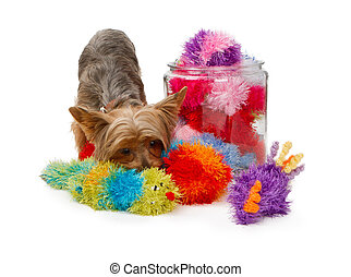 Yorkshire Terrier Dog with Fuzzy Toys - Yorkshire Terrier...
