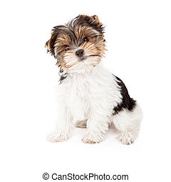 Yorkshire Terrier Puppy - An eight week old Yorkshire puppy...