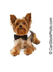 Yorkshire Terrier Dog With Black Tie - Yorkshire Terrier dog...