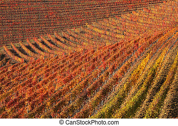 Vineyards at fall. Piedmont, Northern Italy. - Beautiful...