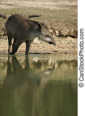 Brazilian tapir, Tapirus terrestris, in water in Brazil