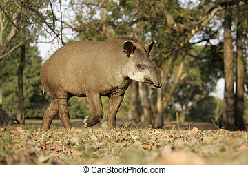 Brazilian tapir, Tapirus terrestris, on land in Brazil