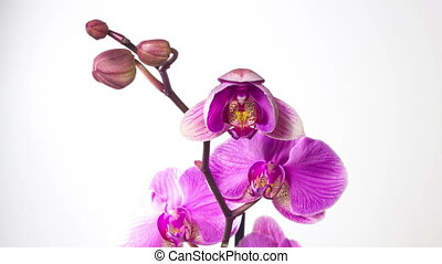 Orchid flower blossom growing macro