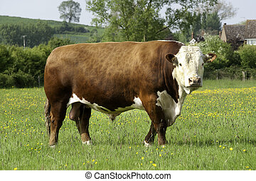 Hereford Bull - A single pedigree Hereford Bull in a field...