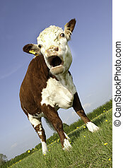 Cow with mouth open - A female pedigree Hereford Cow grazing...