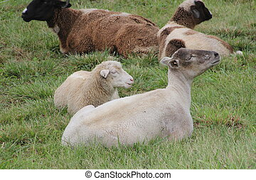 Sheep and Goats - Sheep and goats lying in the grass in a...