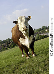 Hereford Bull - A pedigree Hereford Bull in grass pasture...