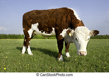 Hereford COw - A single Hereford Cow in a field of grass and...