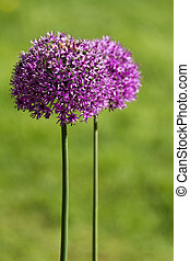alium onion flower - Purple alium onion flower close up shot...