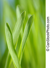 Barley seedlings - Closeup of barley seedlings. Short...