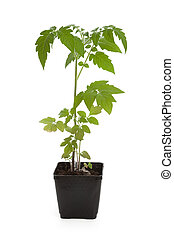 Tomato Seedling Plant with white background