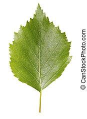 Birch leaf - A Birch leaf isolated on white