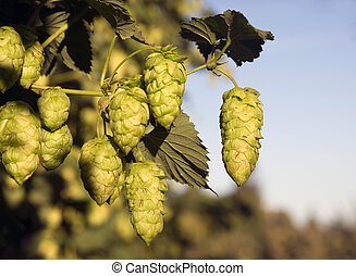 Hops Plants Buds Growing in Farmer's Field Oregon Agriculture
