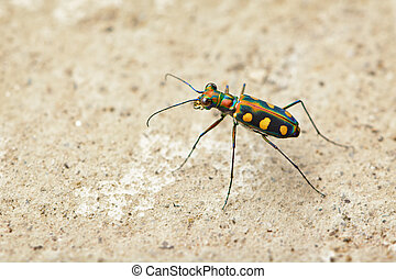 Tiger beetle - Cosmodela aurulenta close up