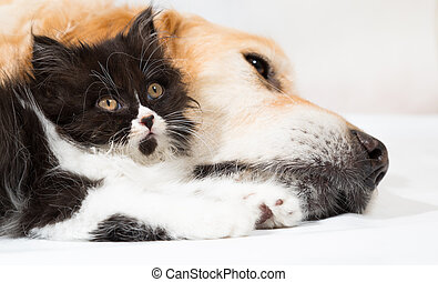 Golden Retriever with a Persian cat sleeping together