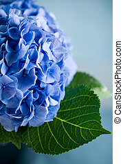 blue hydrangea - Close-up of a blue hydrangea plant
