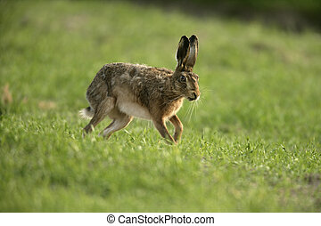 Brown hare, Lepus europaeus, single hare in grass, Scotland