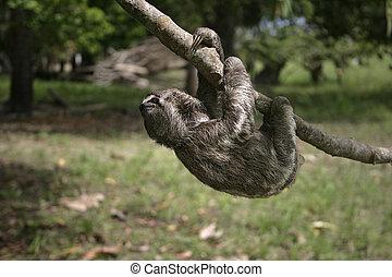 Brown-throated three-toed sloth, Bradypus variegatus,...