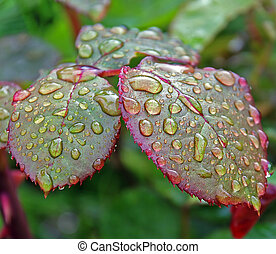 drops of water on leaves in the garden