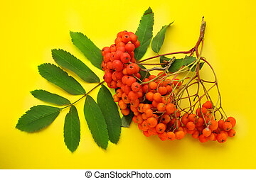 Red ashberry bunch on yellow