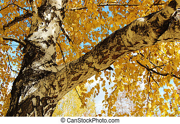 birch tree - Autumn birch tree with yellow leaves